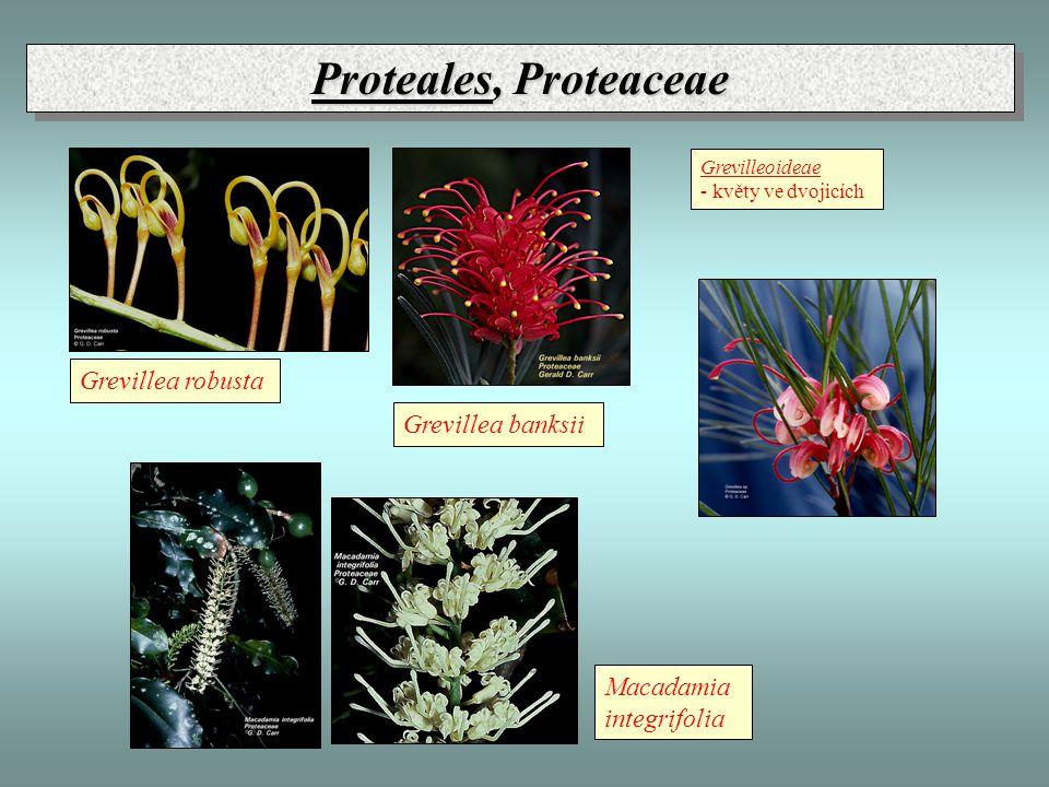 Proteales, Proteaceae Grevillea robusta Grevillea banksii