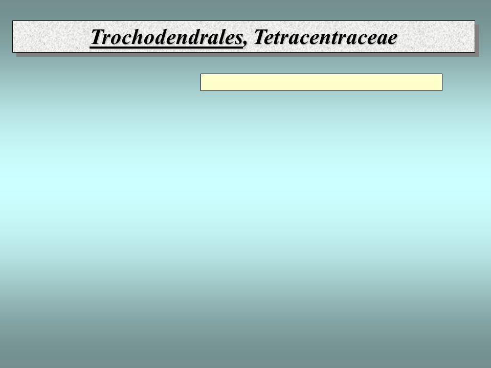 Trochodendrales, Tetracentraceae