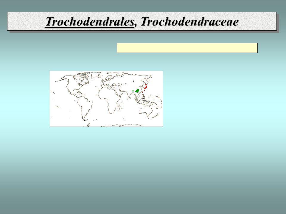 Trochodendrales, Trochodendraceae