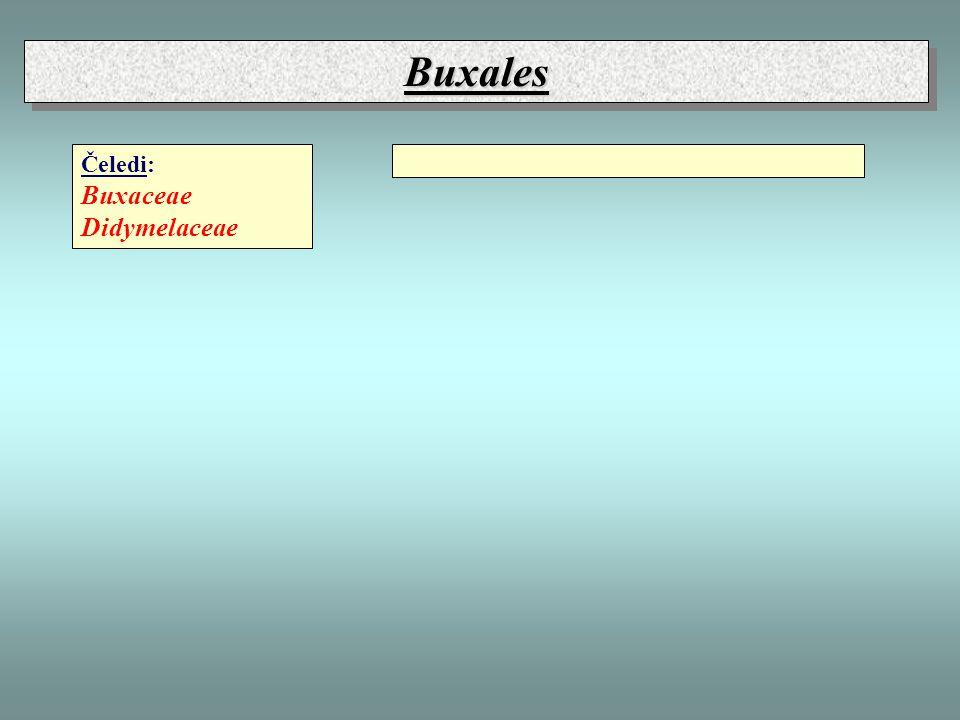 Buxales Čeledi: Buxaceae Didymelaceae