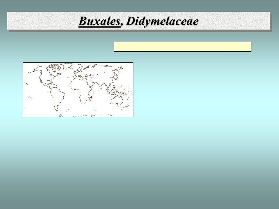 Buxales, Didymelaceae