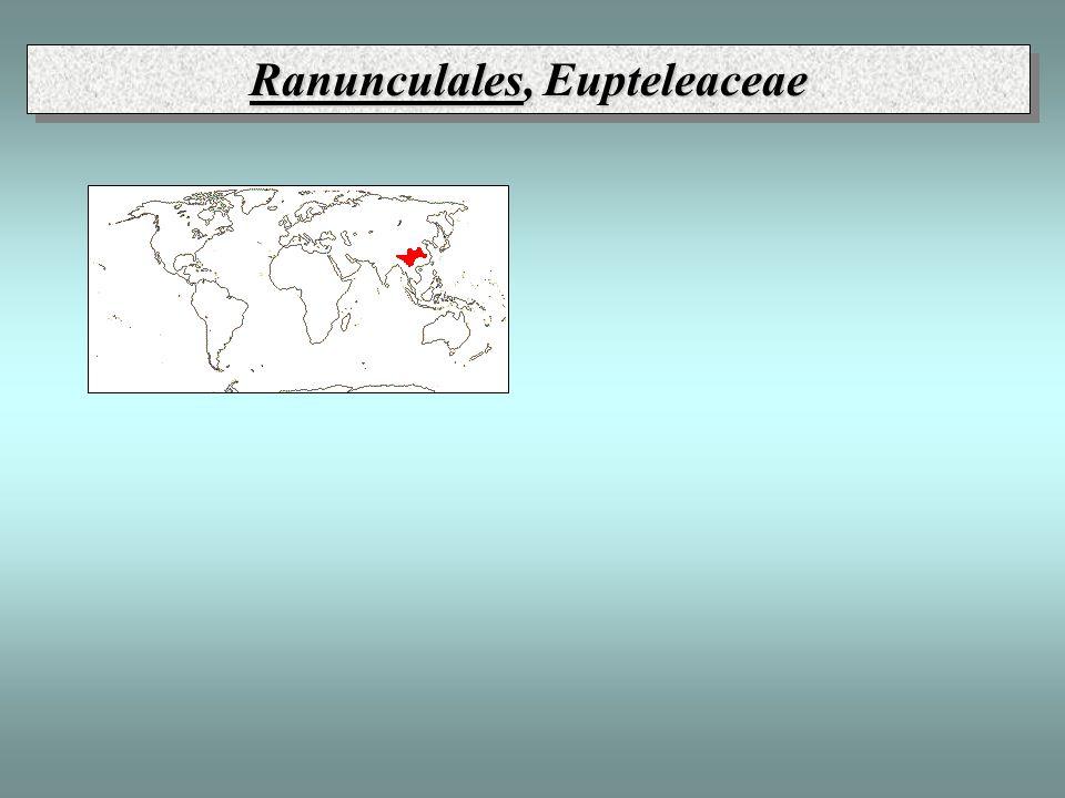 Ranunculales, Eupteleaceae