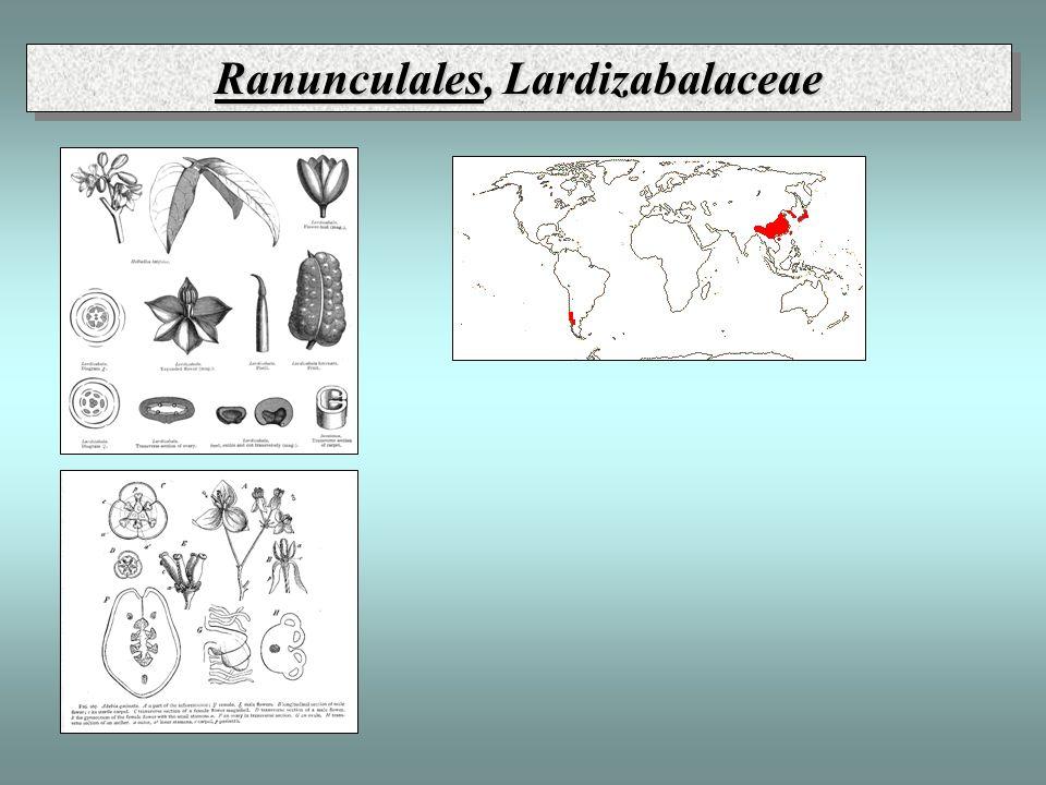 Ranunculales, Lardizabalaceae