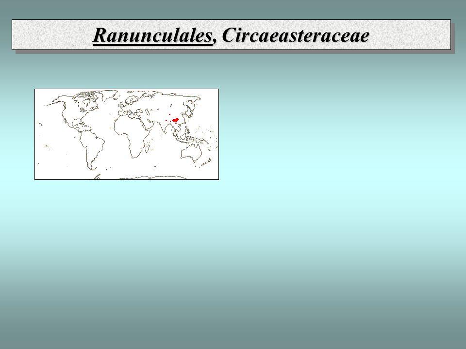 Ranunculales, Circaeasteraceae
