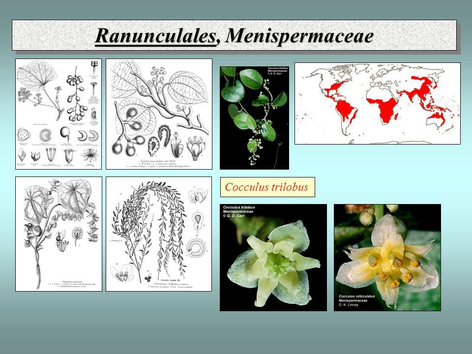 Ranunculales, Menispermaceae