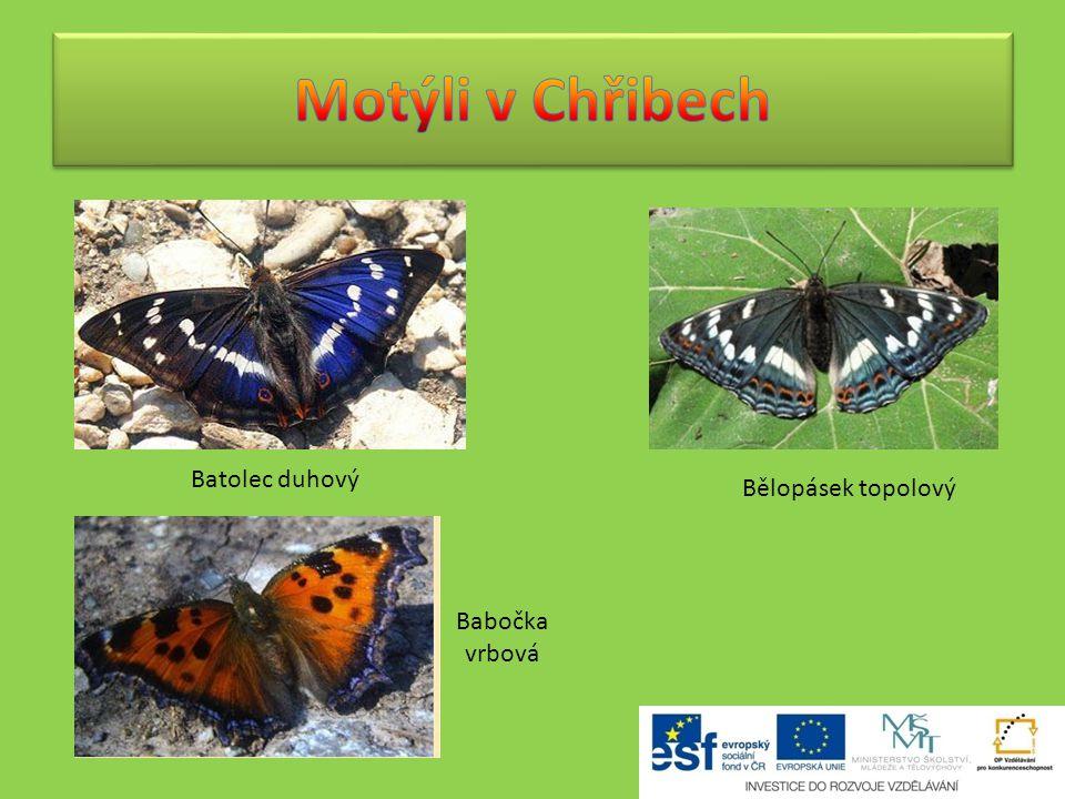 Motýli v Chřibech Batolec duhový Bělopásek topolový Babočka vrbová