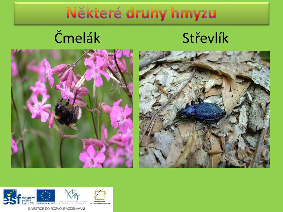 Některé druhy hmyzu Čmelák Střevlík