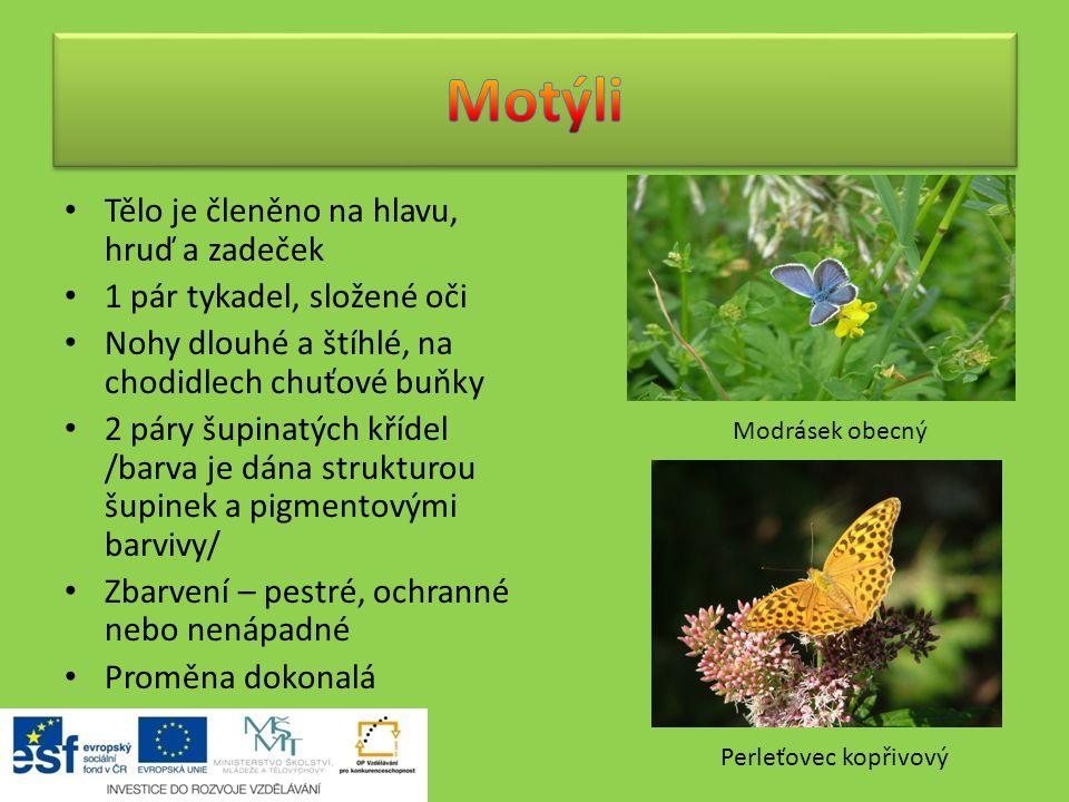 Motýli Tělo je členěno na hlavu, hruď a zadeček