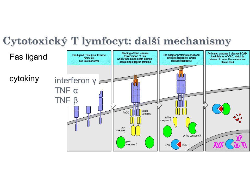 Cytotoxický T lymfocyt: další mechanismy