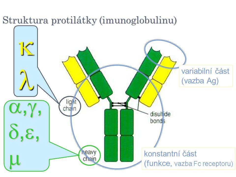   ,,,, Struktura protilátky (imunoglobulinu) variabilní část