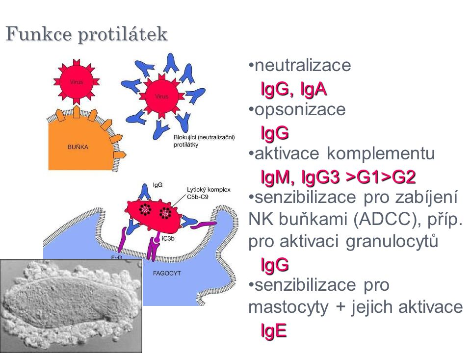 Funkce protilátek neutralizace opsonizace IgG, IgA