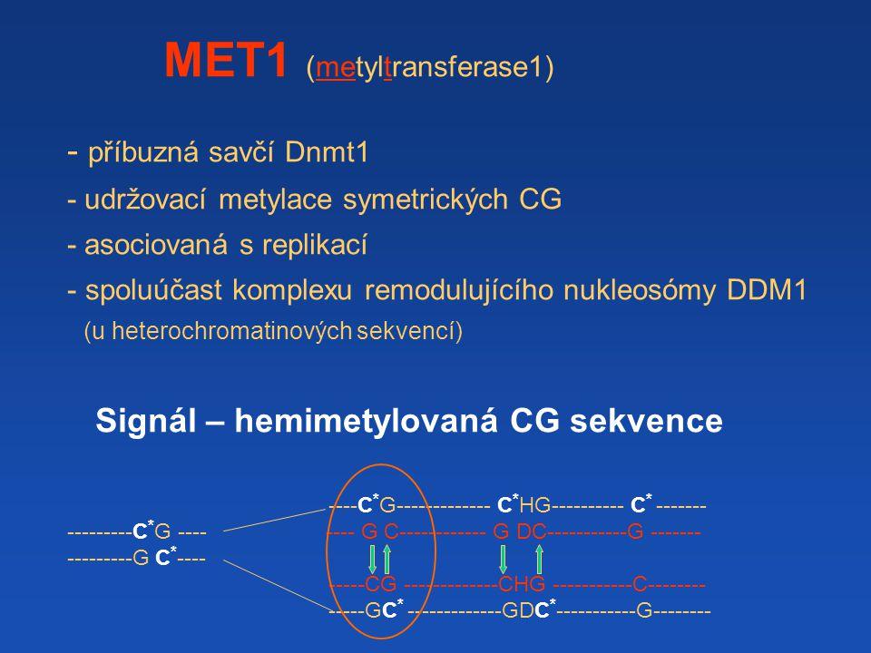 MET1 (metyltransferase1) - příbuzná savčí Dnmt1