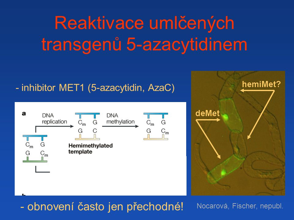 Reaktivace umlčených transgenů 5-azacytidinem