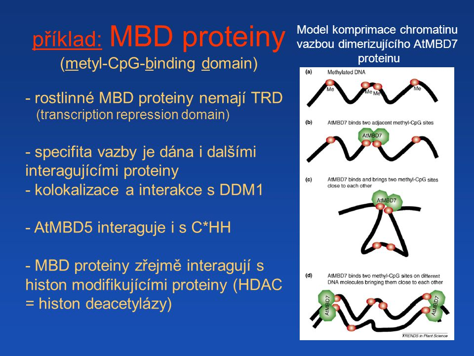příklad: MBD proteiny (metyl-CpG-binding domain)