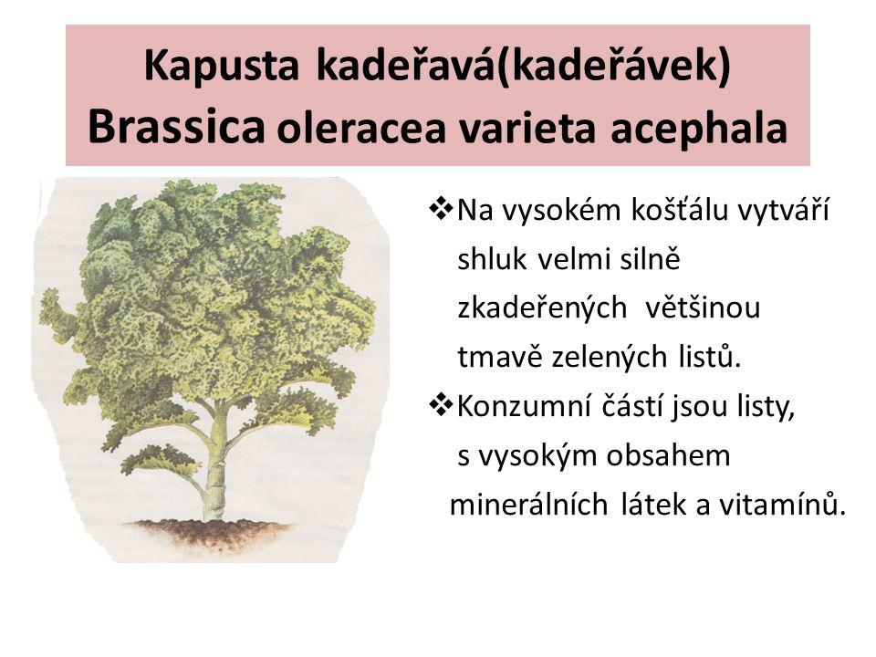 Kapusta kadeřavá(kadeřávek) Brassica oleracea varieta acephala