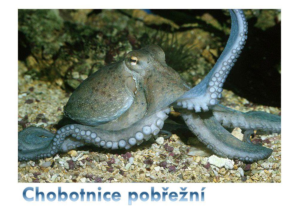 Chobotnice pobřežní