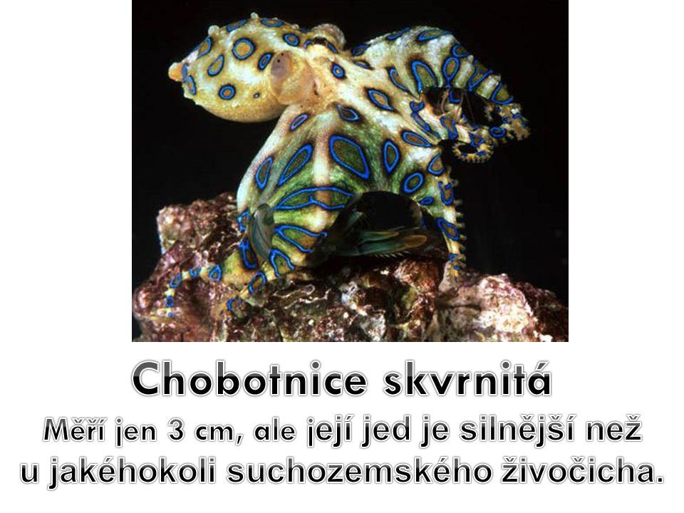 Chobotnice skvrnitá Měří jen 3 cm, ale její jed je silnější než u jakéhokoli suchozemského živočicha.