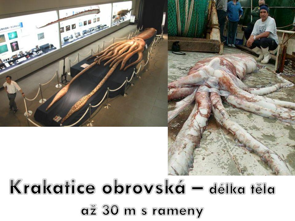 Krakatice obrovská – délka těla