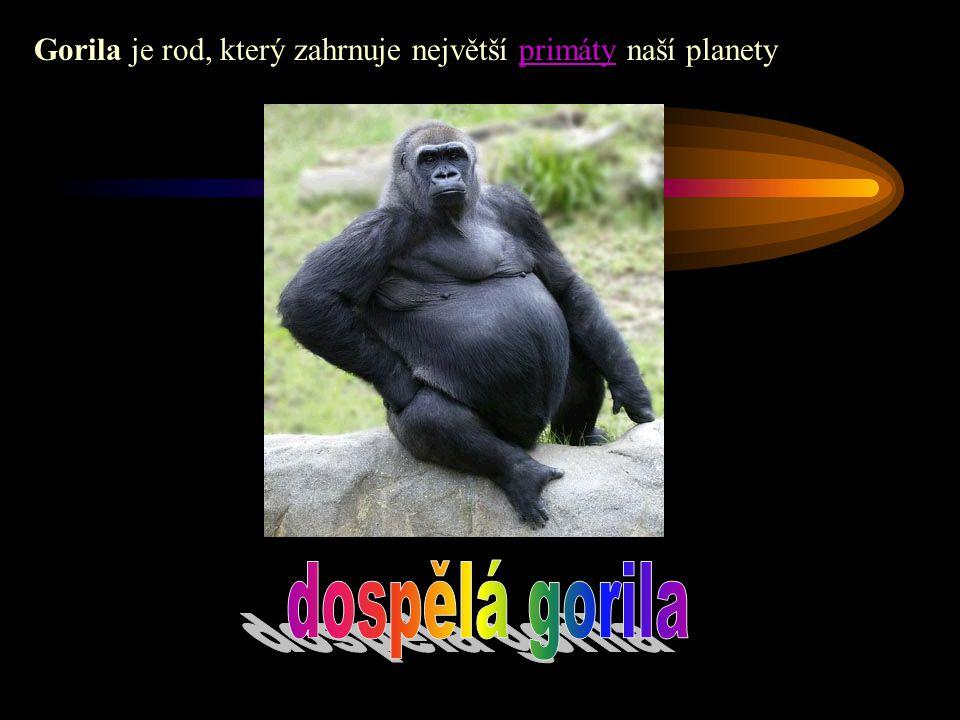 Gorila je rod, který zahrnuje největší primáty naší planety