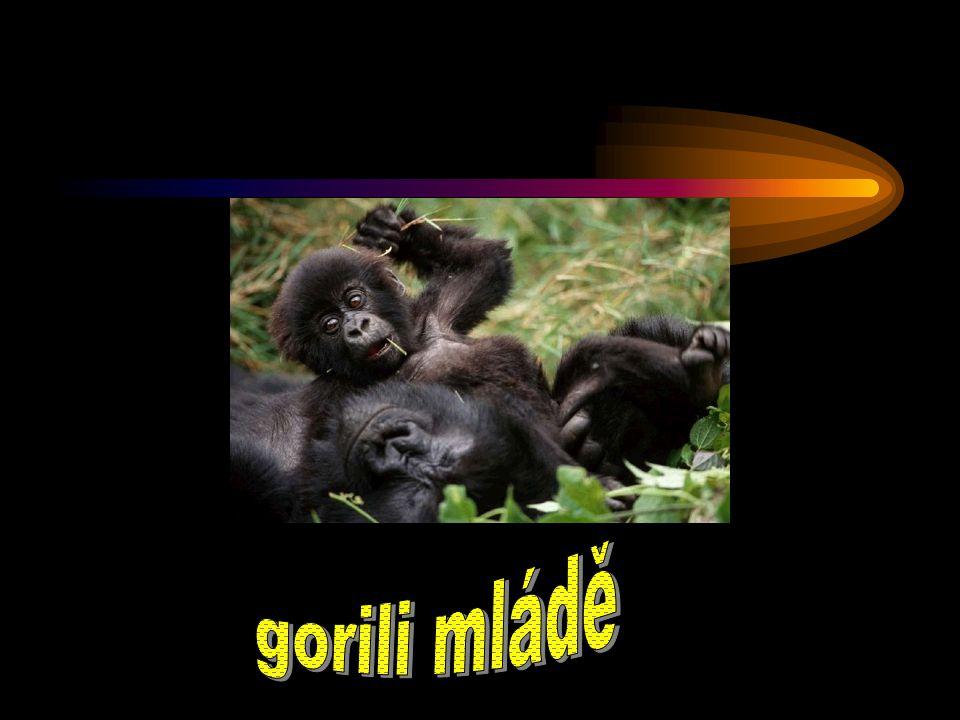 gorili mládě