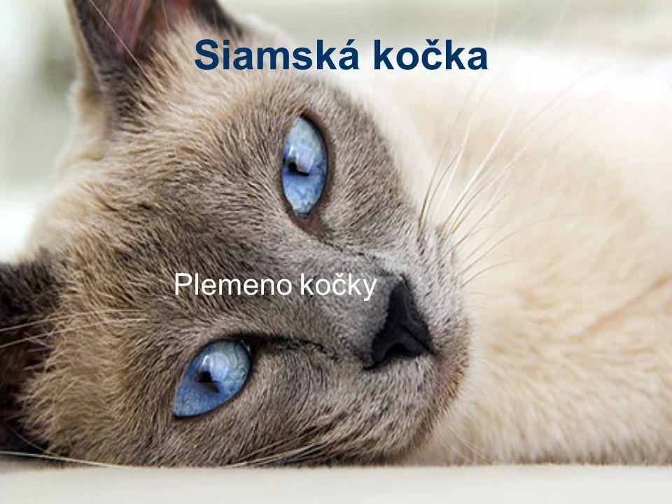 Siamská kočka Plemeno kočky