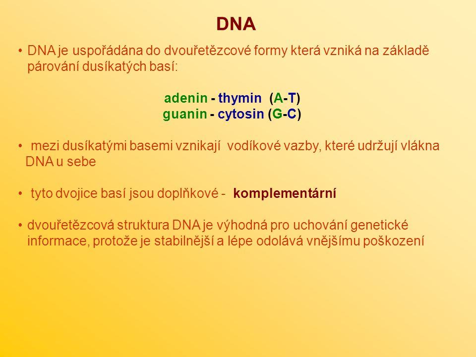 DNA DNA je uspořádána do dvouřetězcové formy která vzniká na základě párování dusíkatých basí: adenin - thymin (A-T)