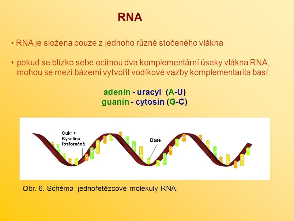 RNA RNA je složena pouze z jednoho různě stočeného vlákna