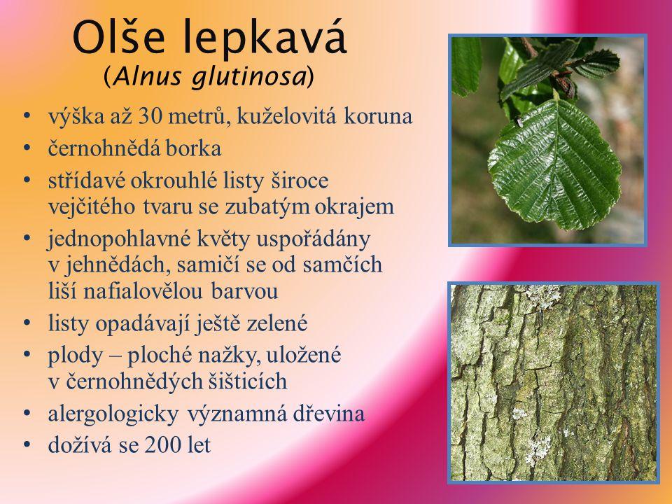 Olše lepkavá (Alnus glutinosa)