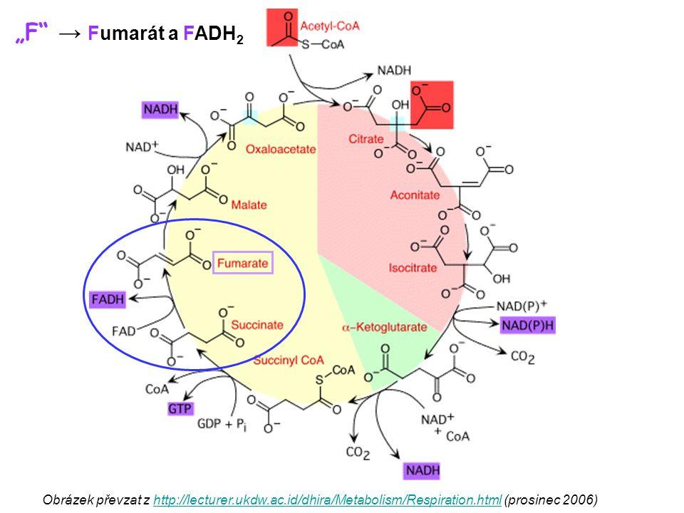 """F → Fumarát a FADH2 Obrázek převzat z http://lecturer.ukdw.ac.id/dhira/Metabolism/Respiration.html (prosinec 2006)"
