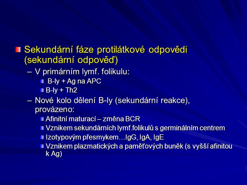 Sekundární fáze protilátkové odpovědi (sekundární odpověď)
