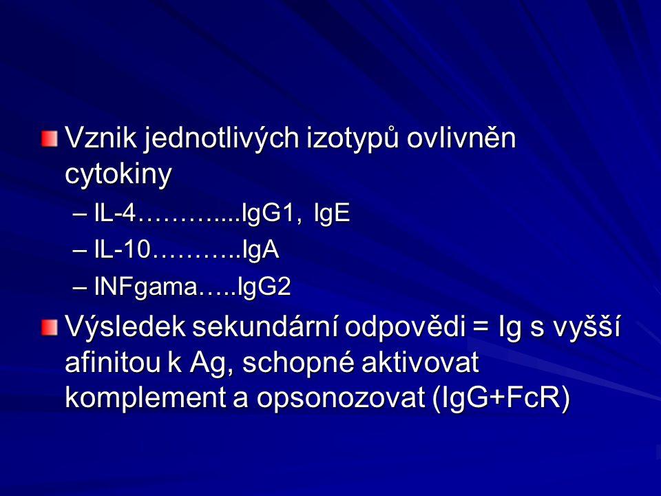 Vznik jednotlivých izotypů ovlivněn cytokiny