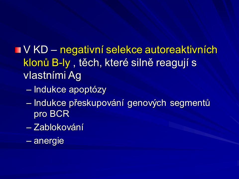 V KD – negativní selekce autoreaktivních klonů B-ly , těch, které silně reagují s vlastními Ag