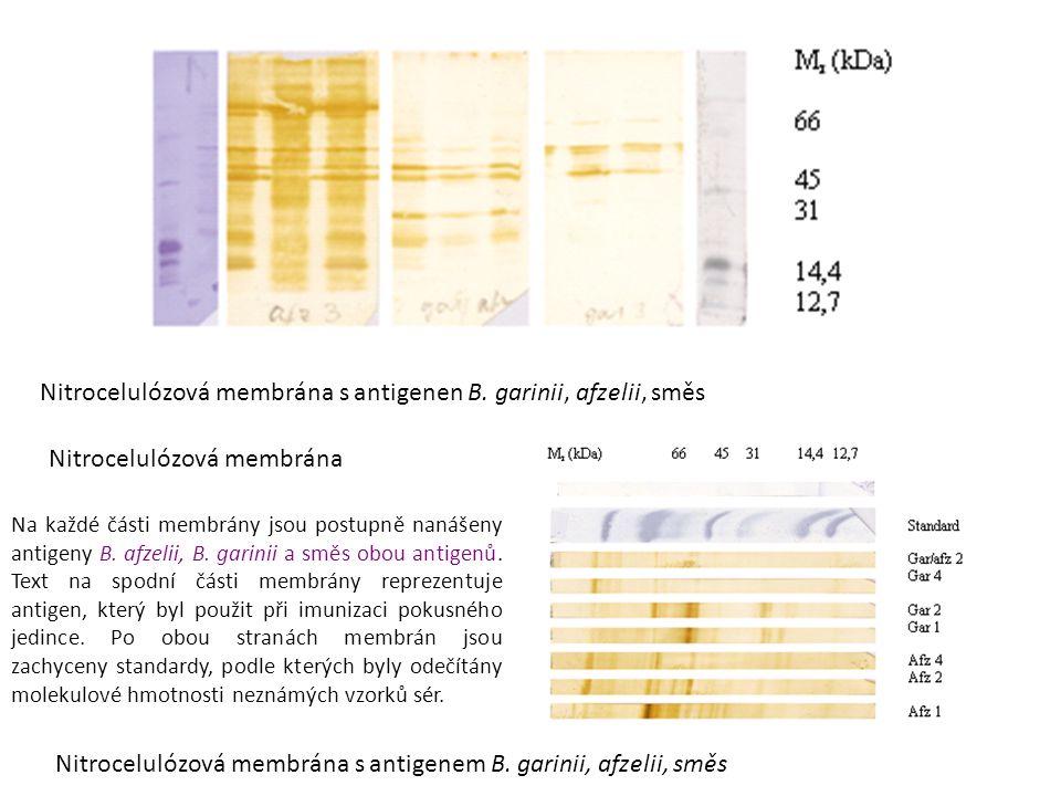 Nitrocelulózová membrána s antigenen B. garinii, afzelii, směs