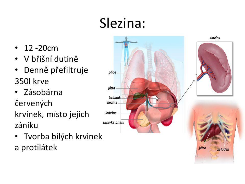 Slezina: 12 -20cm V břišní dutině Denně přefiltruje 350l krve