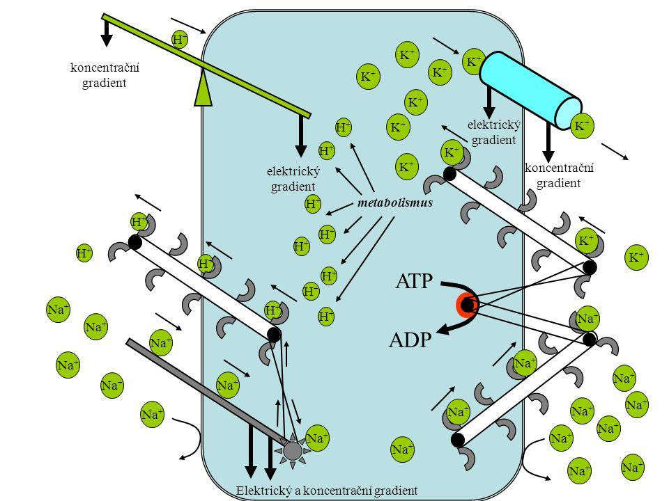 Elektrický a koncentrační gradient