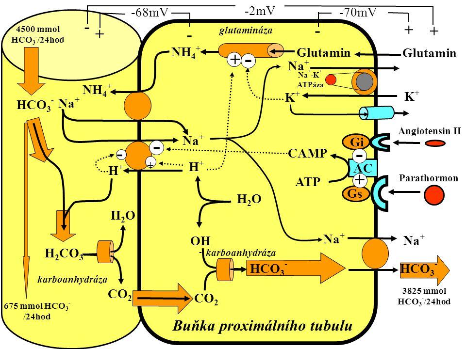 Buňka proximálního tubulu