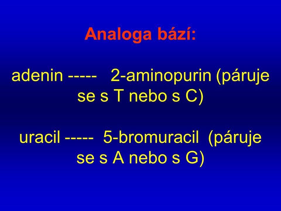 Analoga bází: adenin ----- 2-aminopurin (páruje se s T nebo s C) uracil ----- 5-bromuracil (páruje se s A nebo s G)