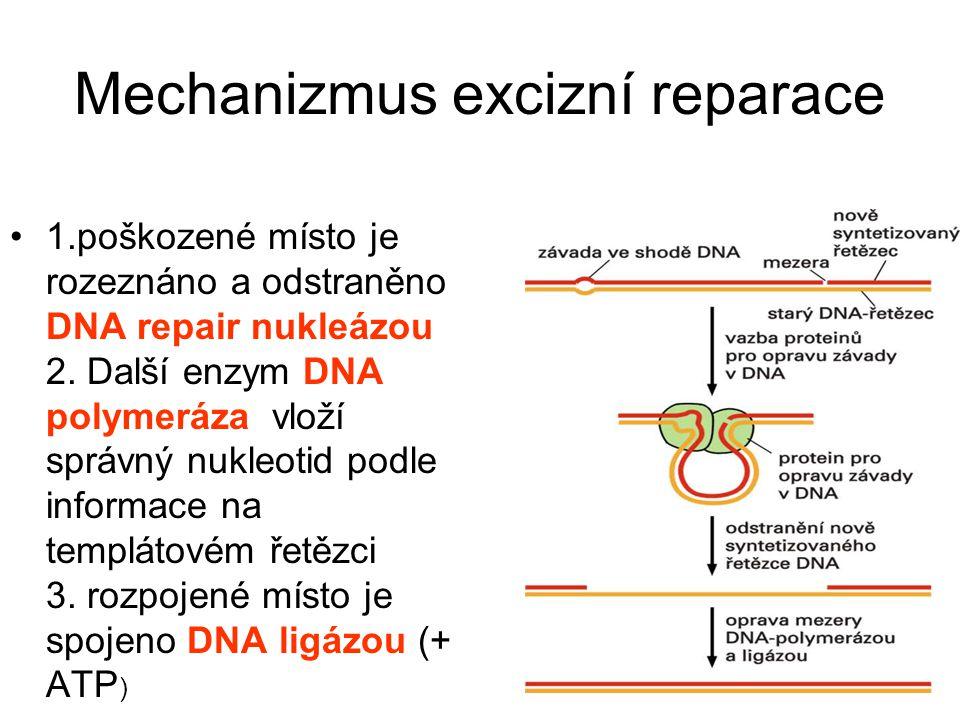 Mechanizmus excizní reparace