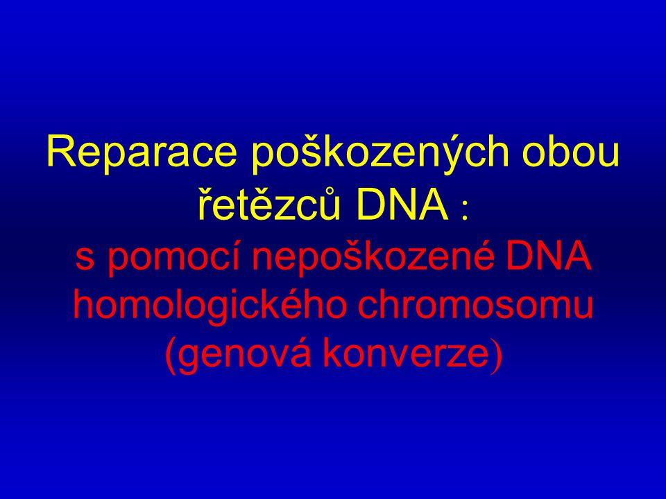 Reparace poškozených obou řetězců DNA : s pomocí nepoškozené DNA homologického chromosomu (genová konverze)