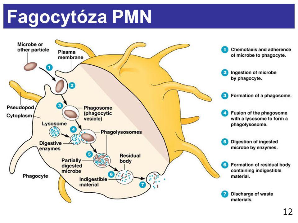 Fagocytóza PMN