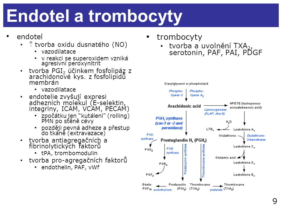 Endotel a trombocyty trombocyty endotel