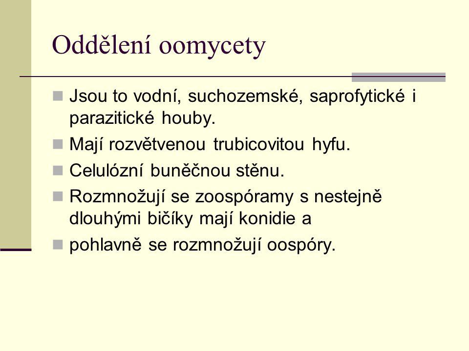 Oddělení oomycety Jsou to vodní, suchozemské, saprofytické i parazitické houby. Mají rozvětvenou trubicovitou hyfu.