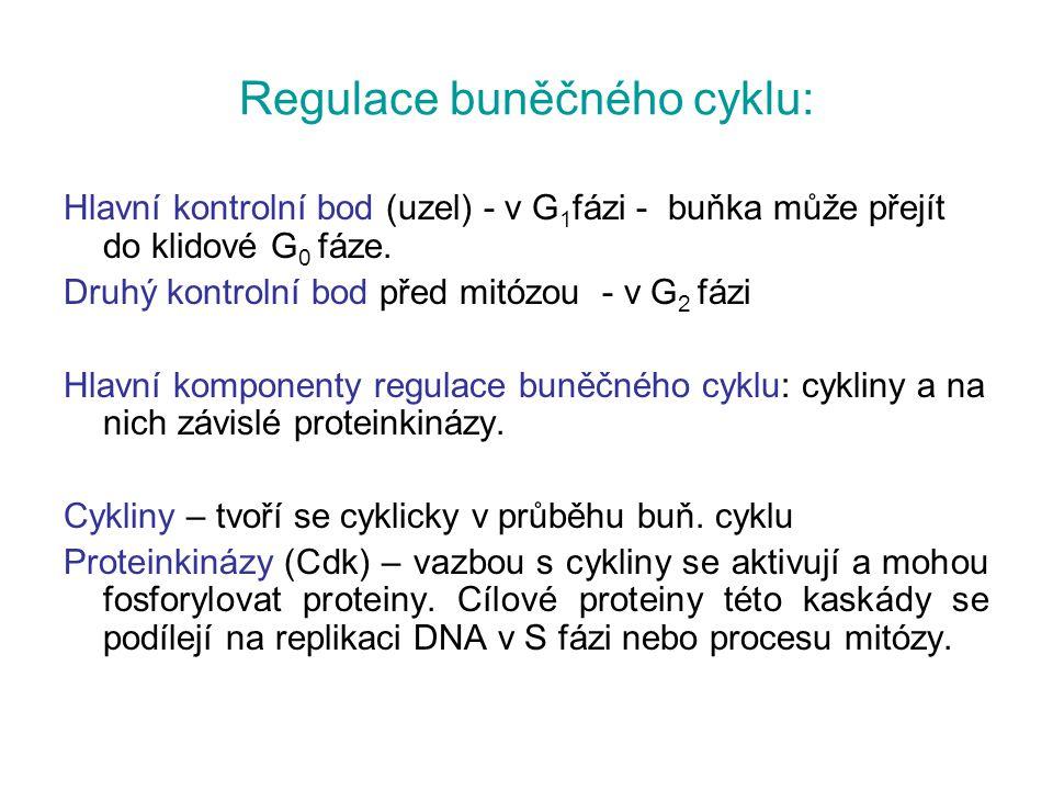 Regulace buněčného cyklu: