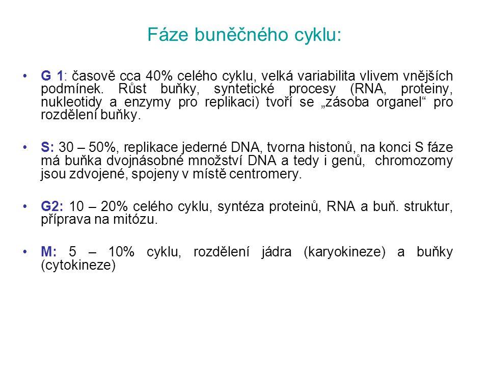Fáze buněčného cyklu: