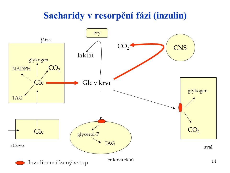 Sacharidy v resorpční fázi (inzulin)