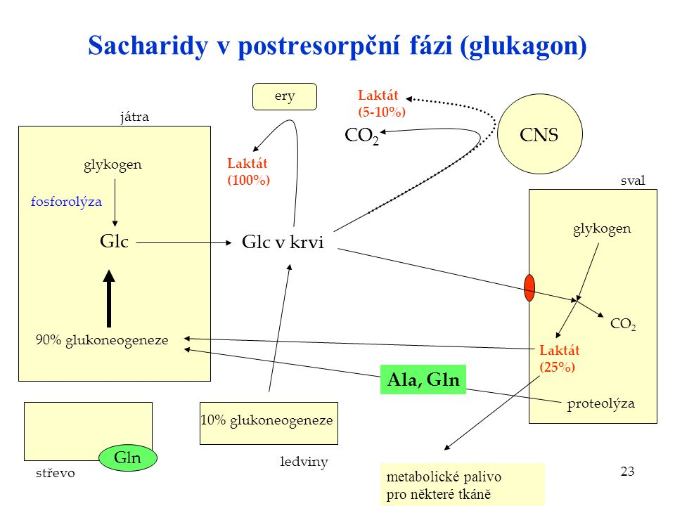 Sacharidy v postresorpční fázi (glukagon)