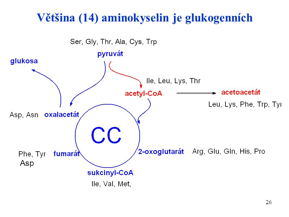 Většina (14) aminokyselin je glukogenních