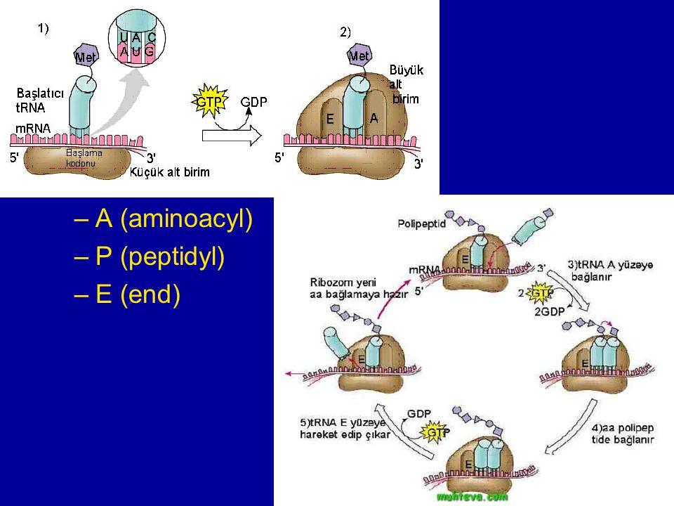 translace velká podjednotka ribozomu tři vazebná místa A (aminoacyl)