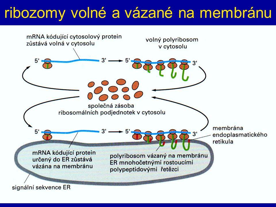 ribozomy volné a vázané na membránu