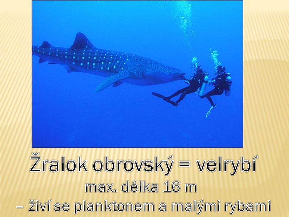 Žralok obrovský = velrybí – živí se planktonem a malými rybami